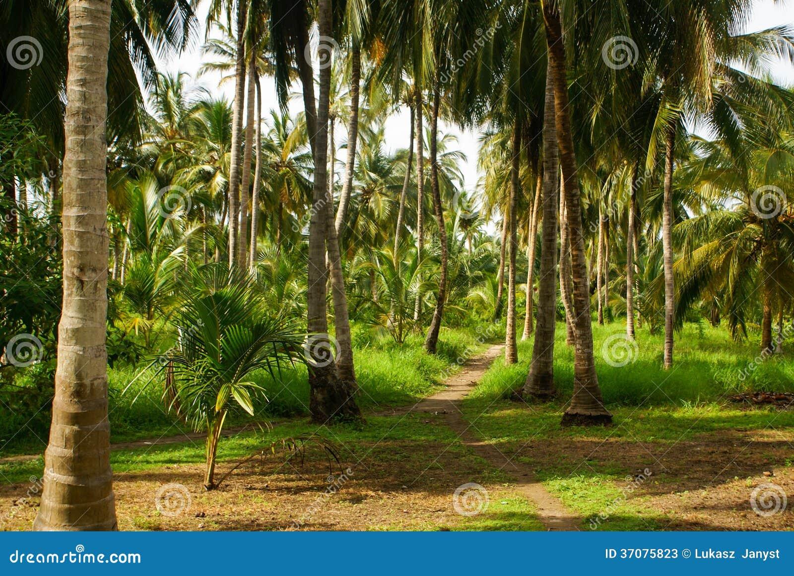 Download Zielony Palmowy Las W Kolumbijskiej Wyspie Mucura Obraz Stock - Obraz złożonej z natura, koks: 37075823