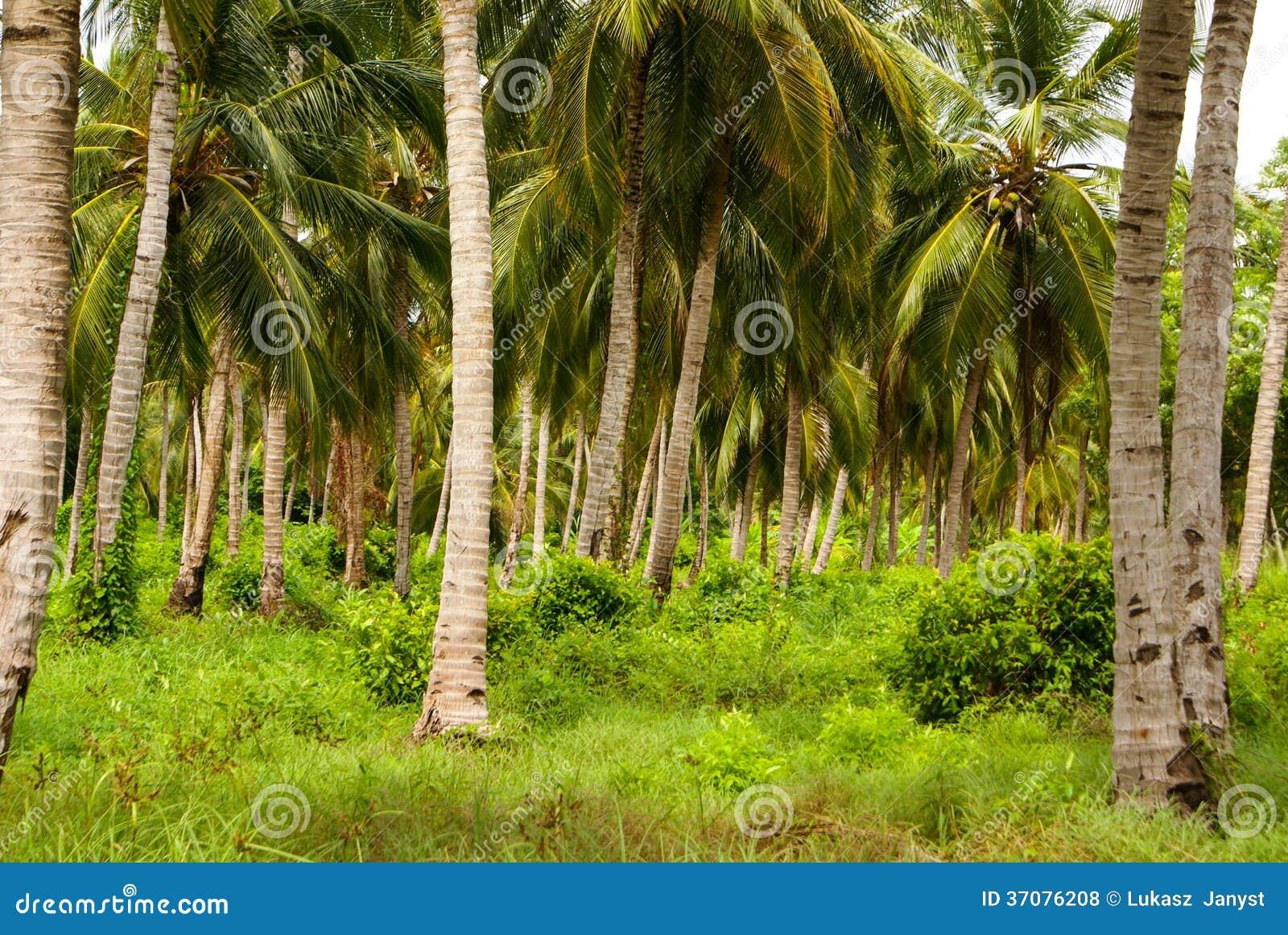 Download Zielony Palmowy Las W Kolumbijskiej Wyspie Mucura Zdjęcie Stock - Obraz złożonej z horyzontalny, palma: 37076208