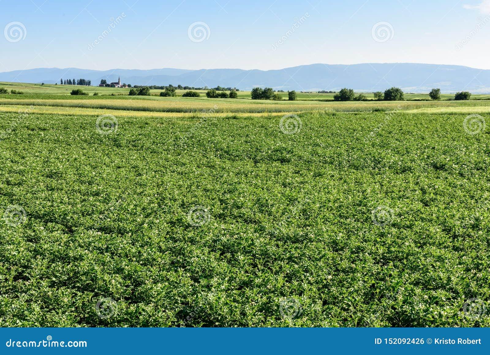 Zielony pole kartoflane uprawy z rz?du pola rolnicze