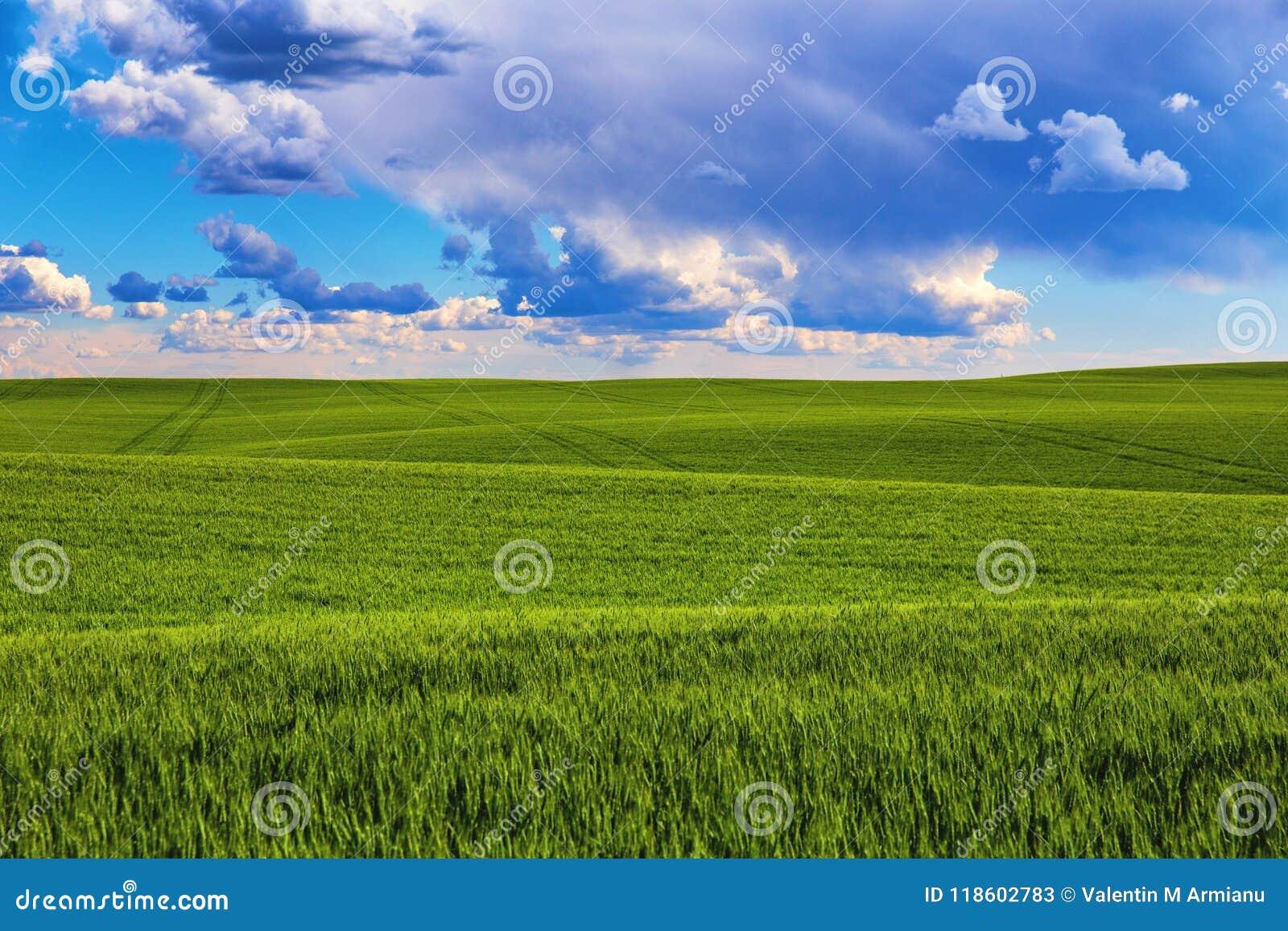 Zielony pole w lecie