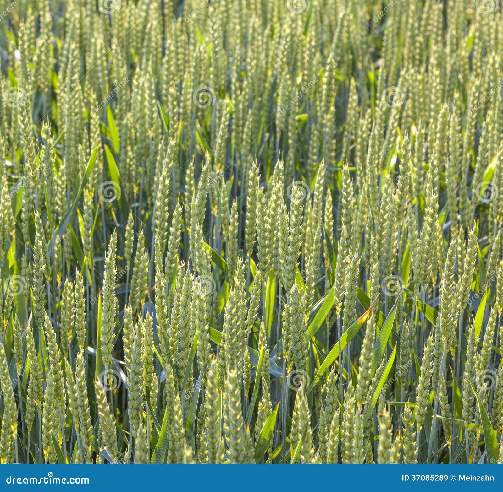 Download Zielony pole w lecie obraz stock. Obraz złożonej z rolnictwo - 37085289