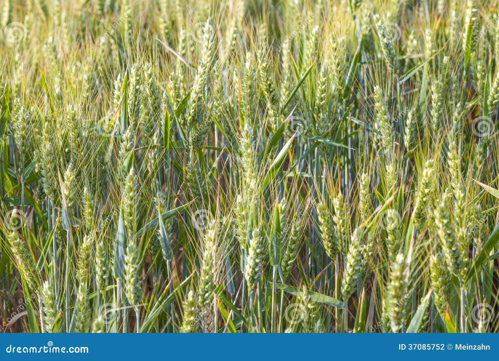 Download Zielony pole w lecie zdjęcie stock. Obraz złożonej z światło - 37085752