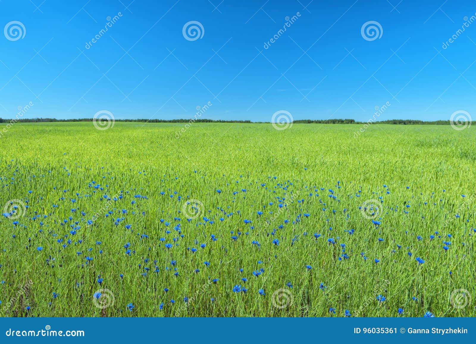 Zielony pole z kwiatami błękitny kolor z cornflowers