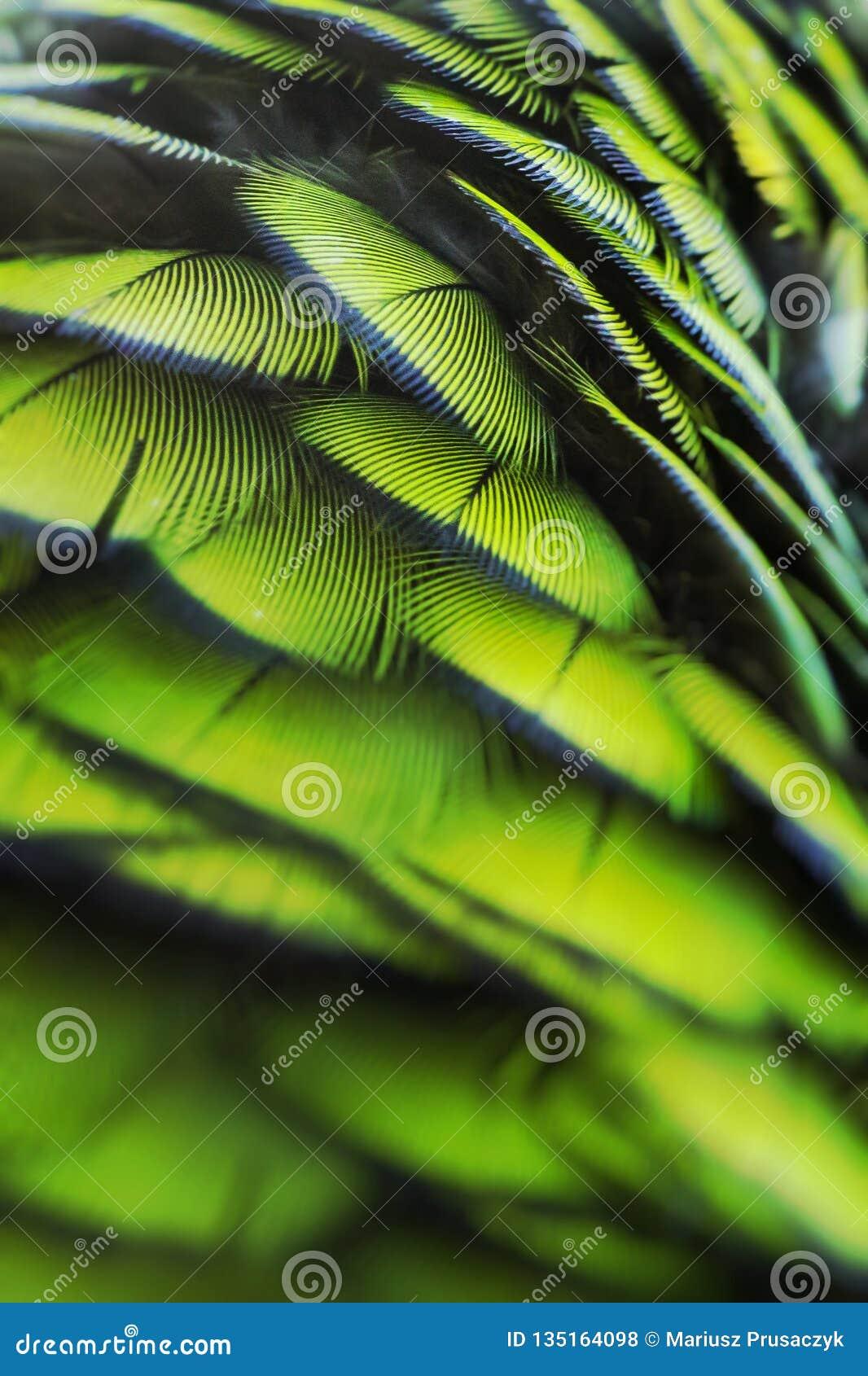 Zielony ptasi upierzenie, Arlekińska ara upierza, natury tekstury tło Selekcyjna ostrość