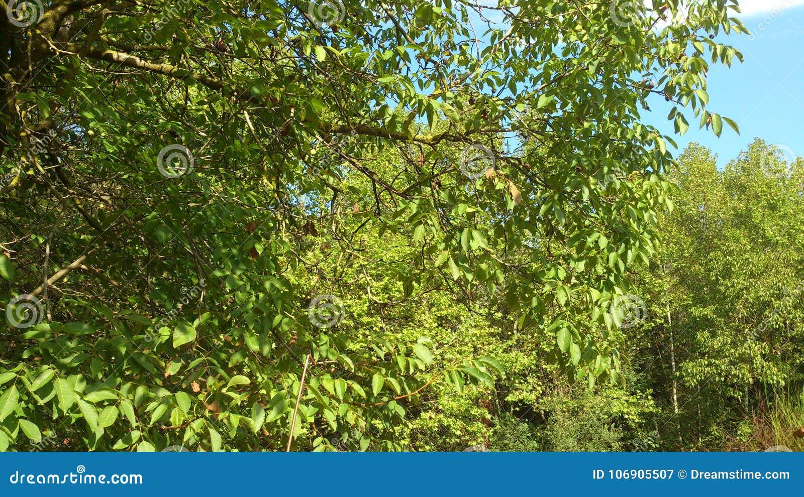 Zielony tło z drzewnymi liśćmi,