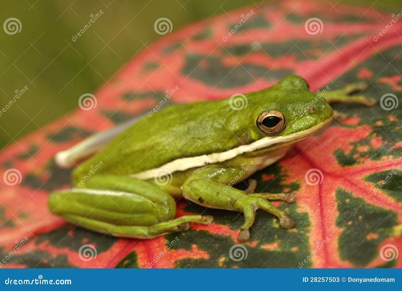 Zielony treefrog (Hyla cinerea)