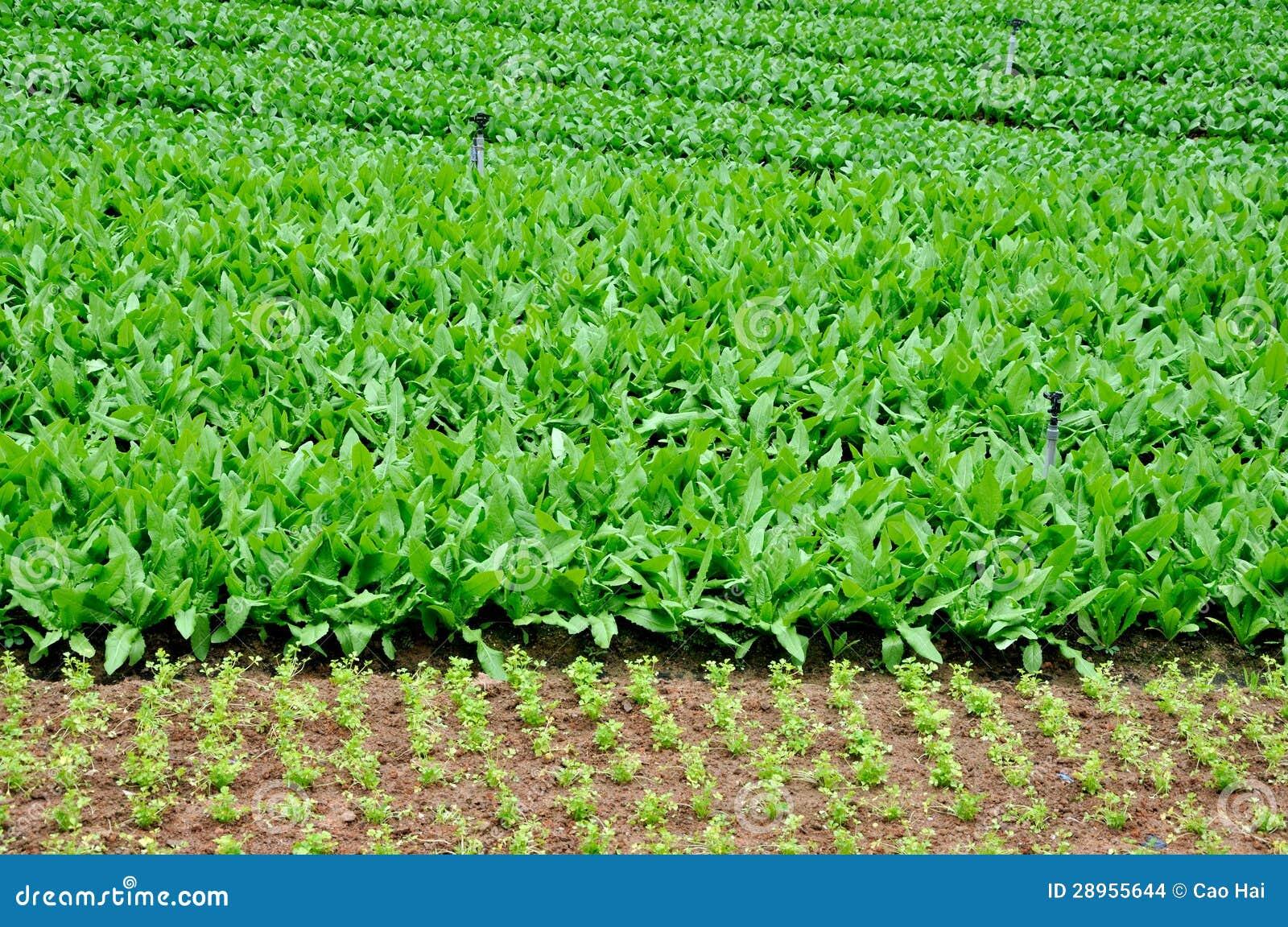 Zielony warzywa pole