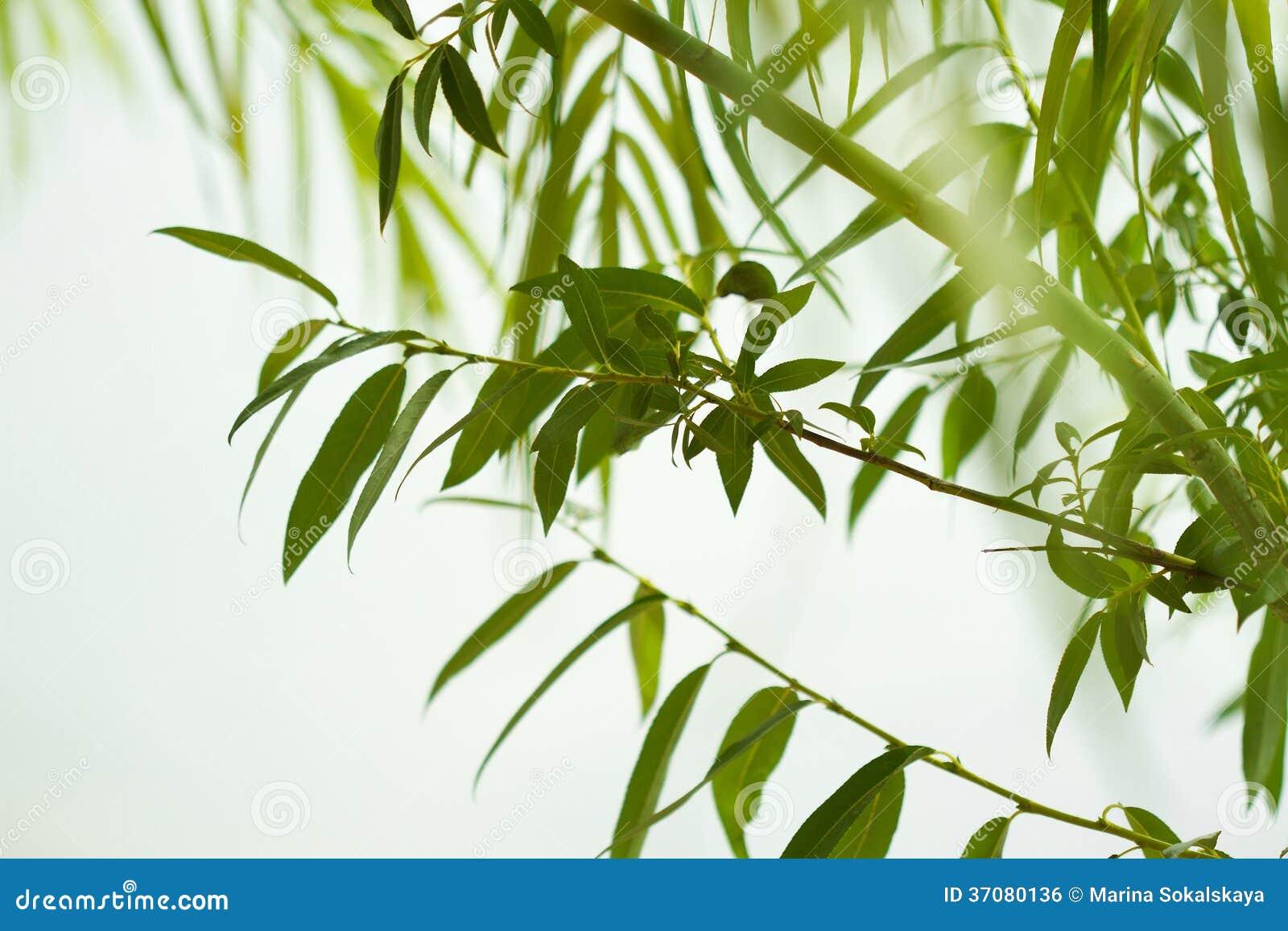 Download Zielony Wierzbowy Ulistnienie Zdjęcie Stock - Obraz złożonej z wally, spokój: 37080136