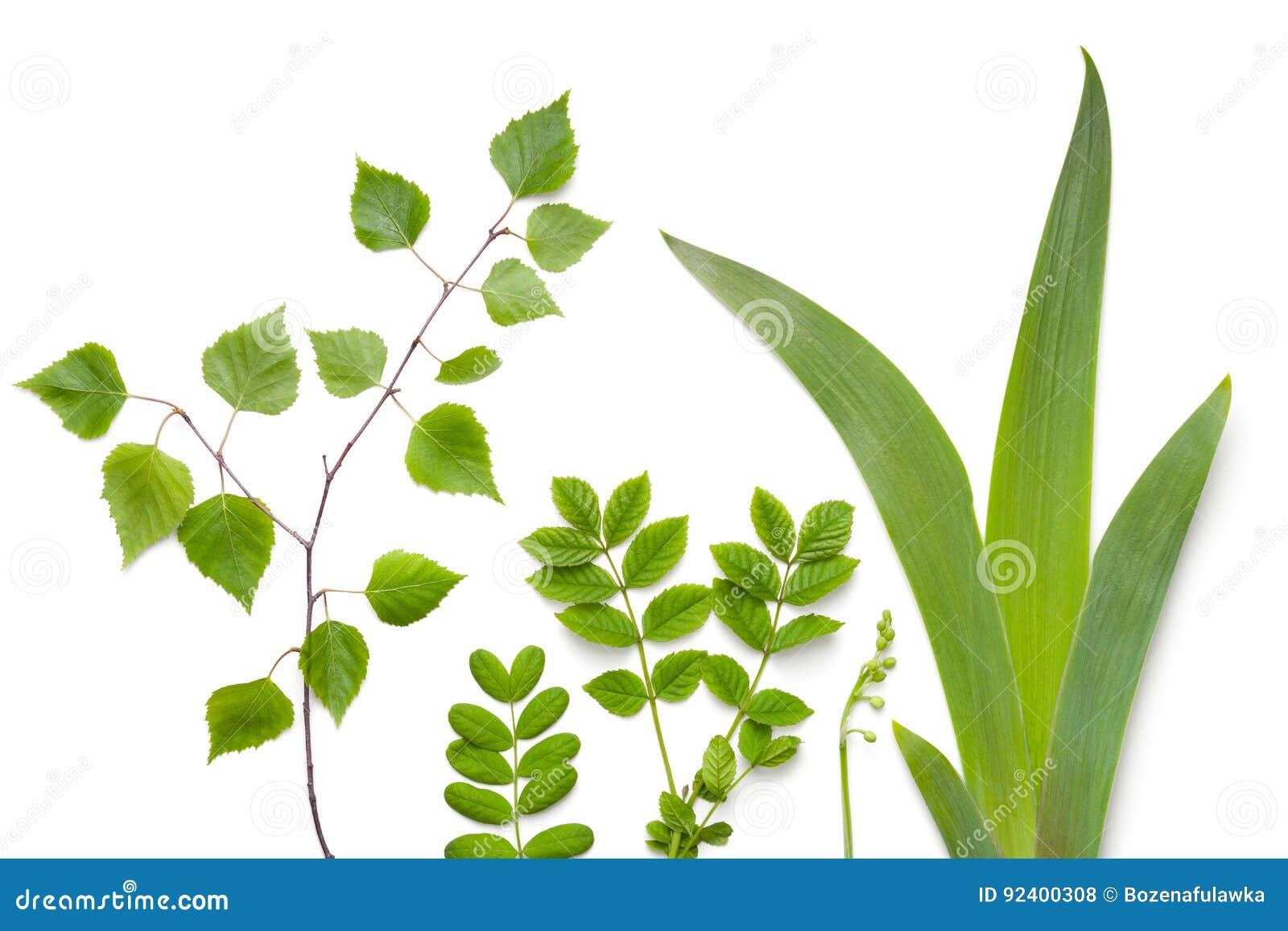 Zielonych rośliien liście na Białym tle