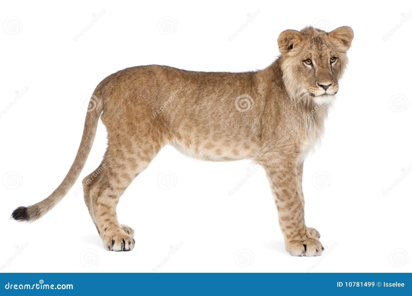 Zijaanzicht van de welp van de Leeuw, 8 maanden oud, status