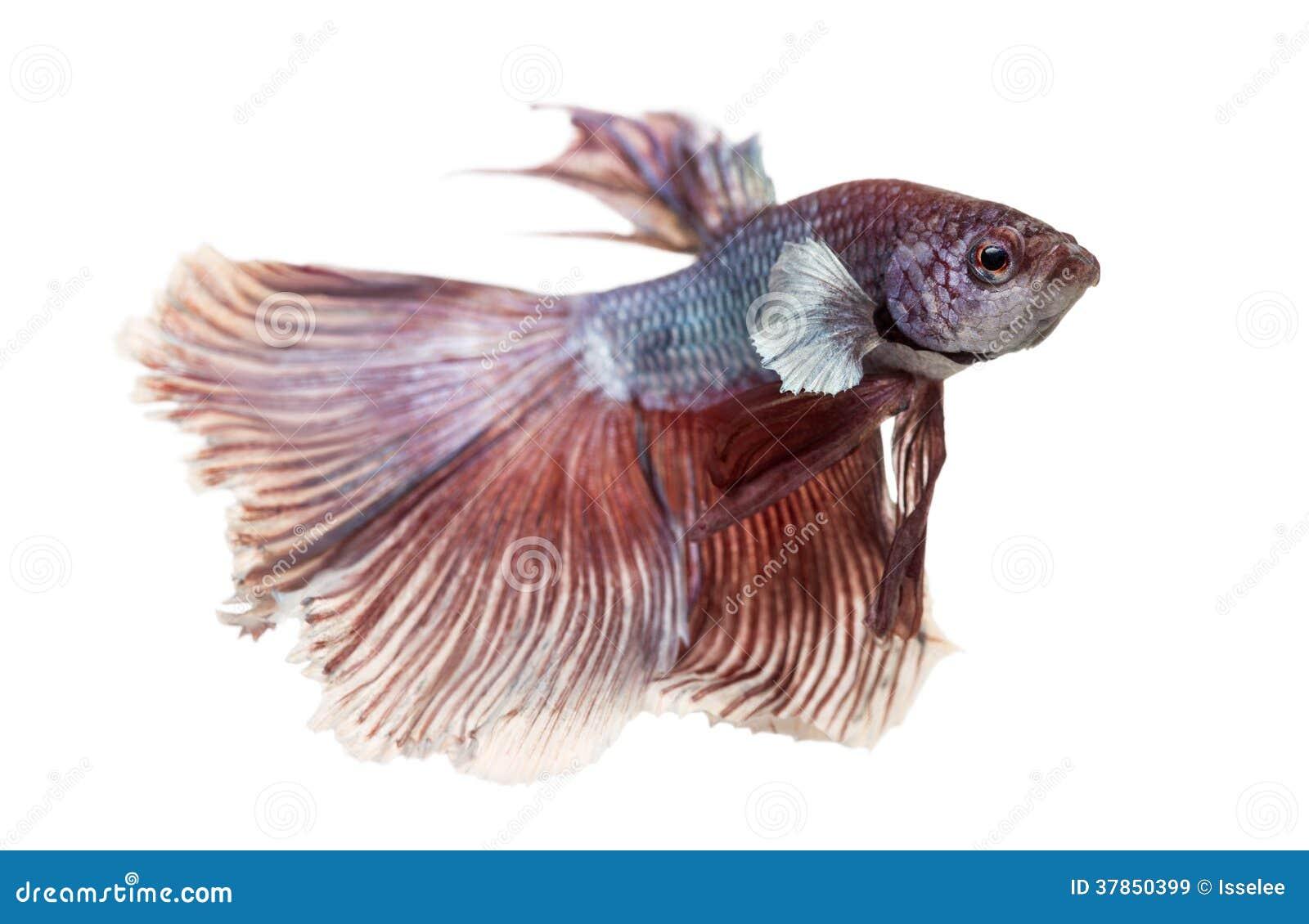 Zijaanzicht van een Siamese het vechten vis, Betta splendens