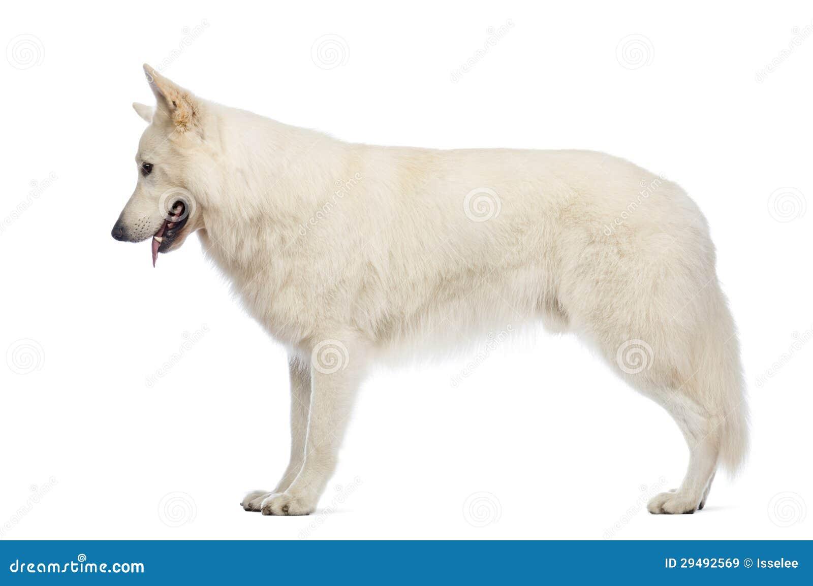 zijaanzicht van een zwitserse hond die van de herder 5 jaar oud neer eruit zien stock. Black Bedroom Furniture Sets. Home Design Ideas