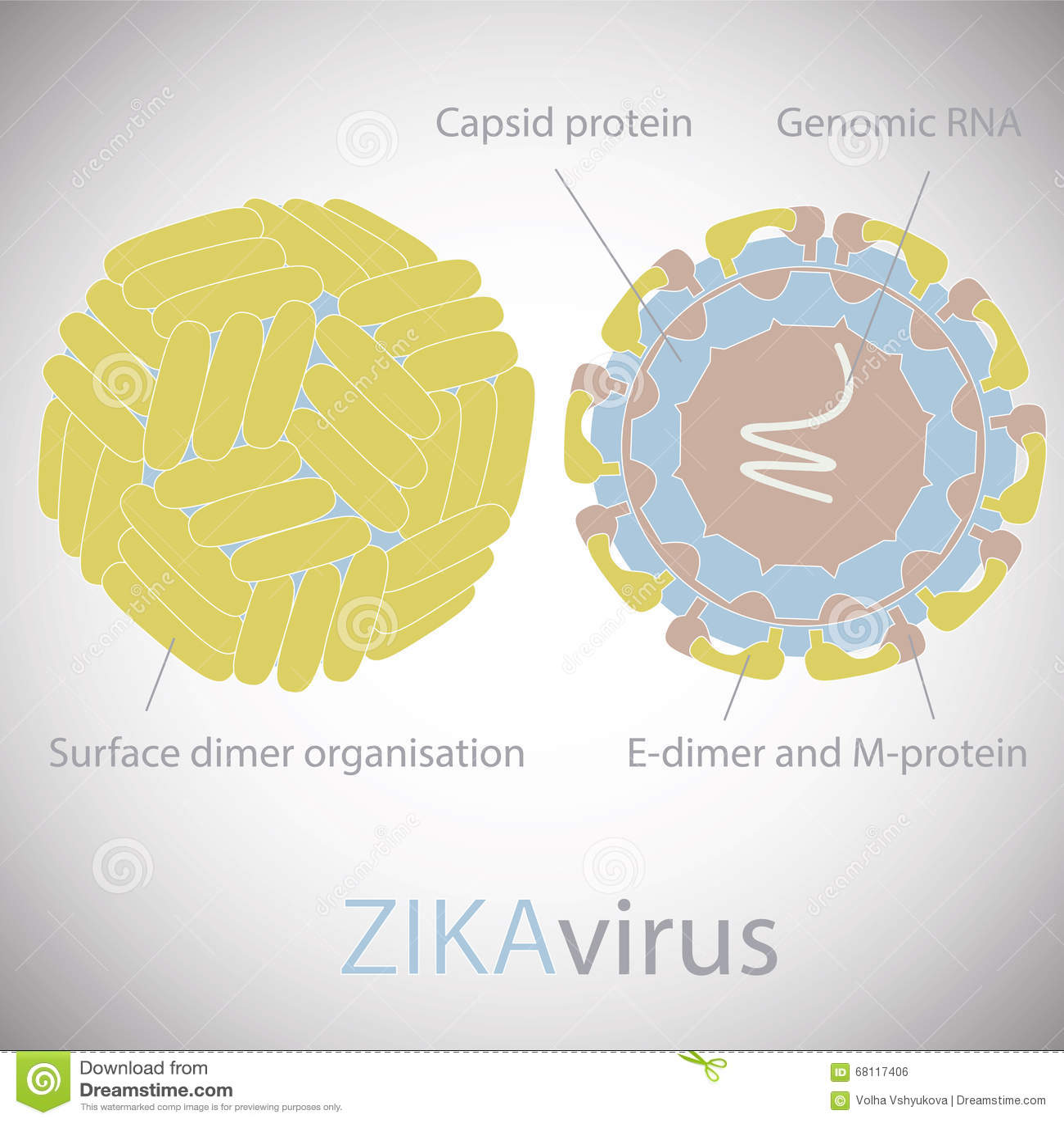 Structure Of Zika Virus Stock Vector - Image: 69037043