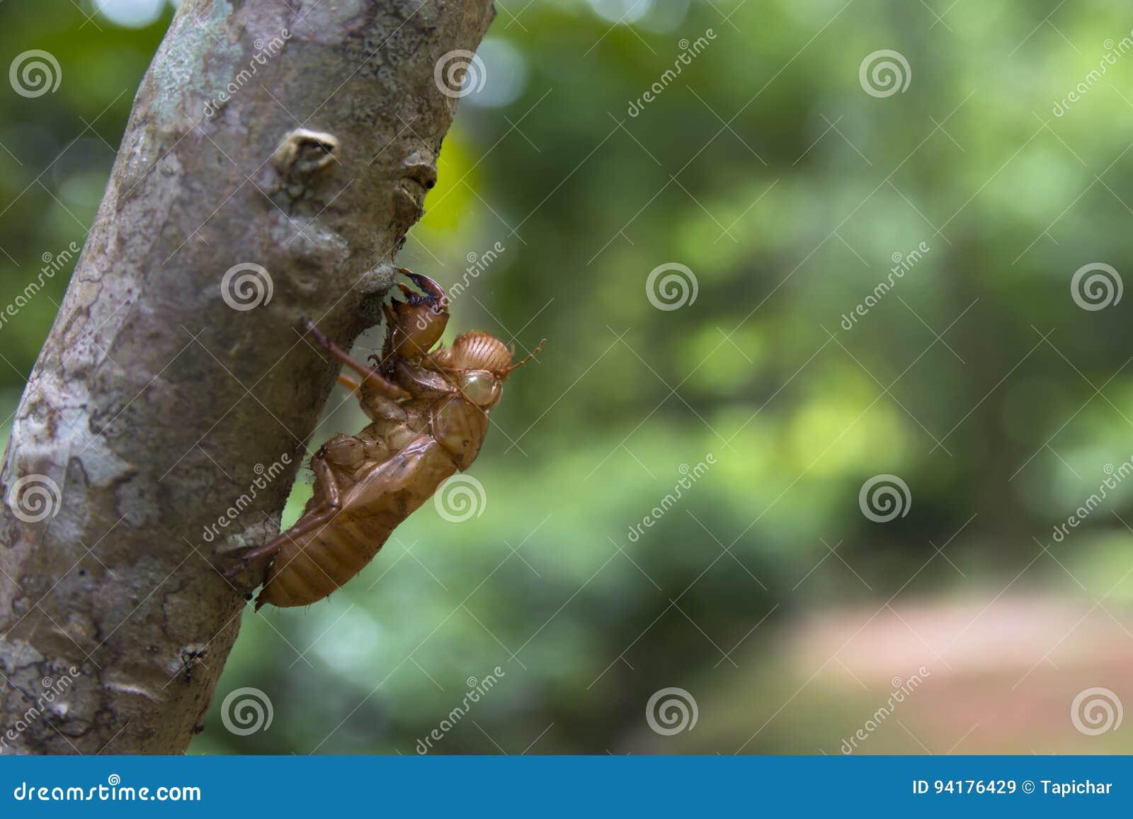 Zikaden Softshell auf hölzernem Stamm