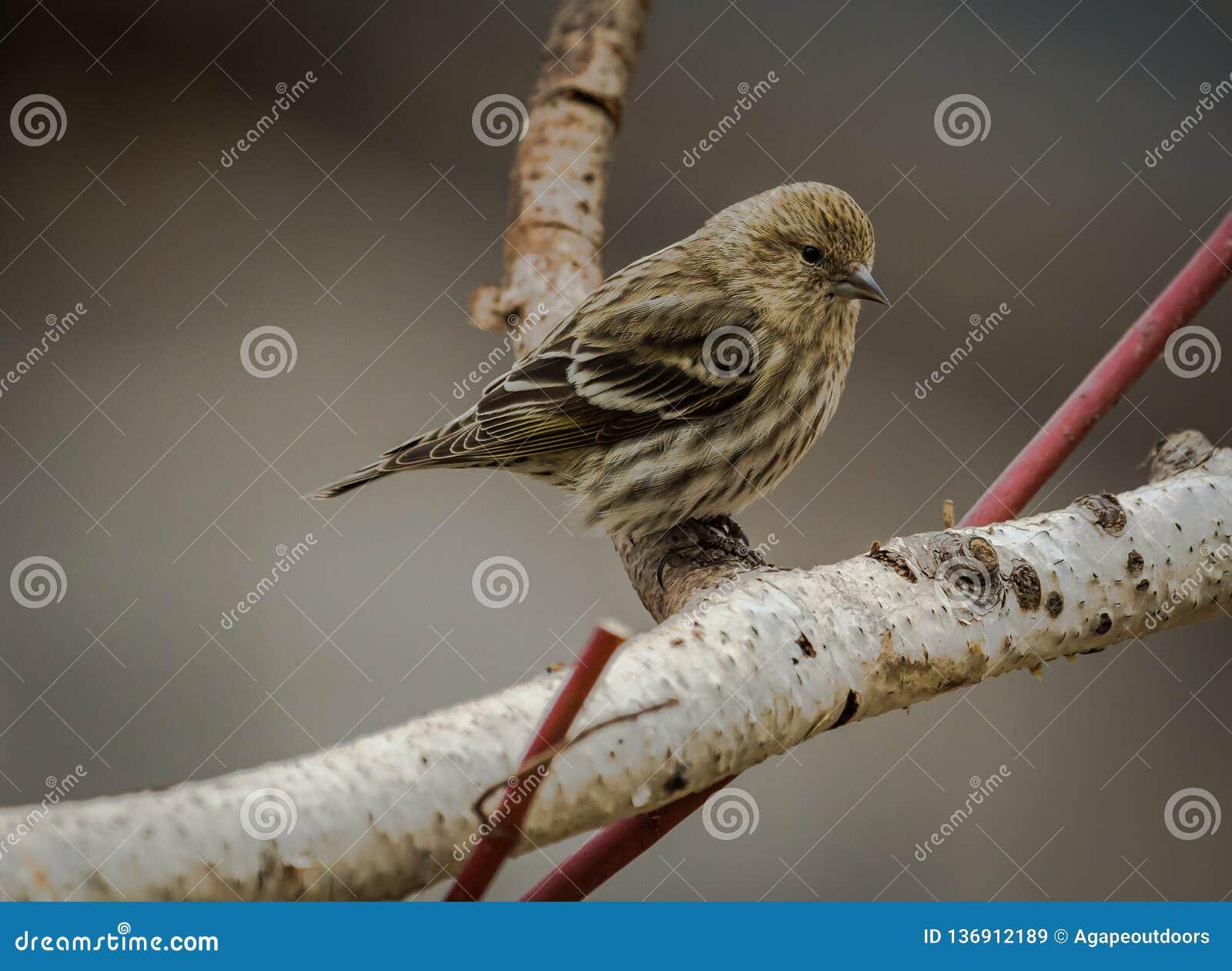 Zima czasu brzozy drzewa sosny czyżyk