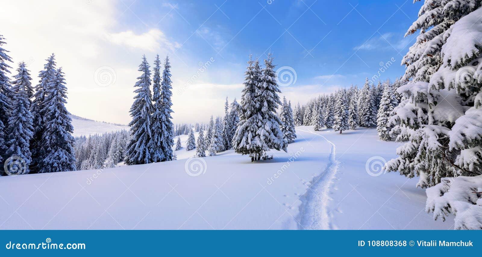 Zima krajobraz z uczciwymi drzewami pod śniegiem Sceneria dla turystów Bożenarodzeniowi wakacje