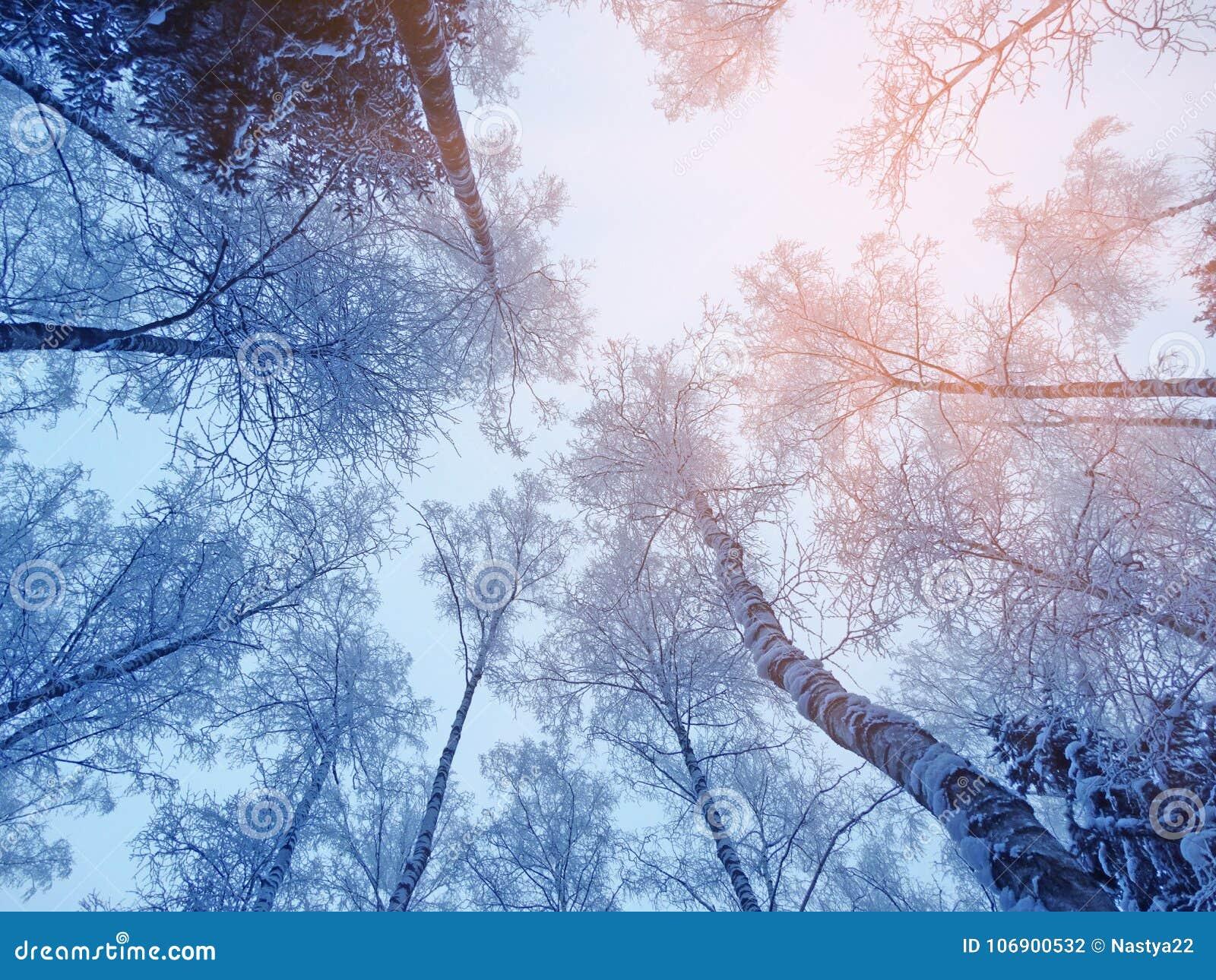 Zima krajobrazowy las w śniegu oszroniejącym z pogodnymi lekkimi promieniami