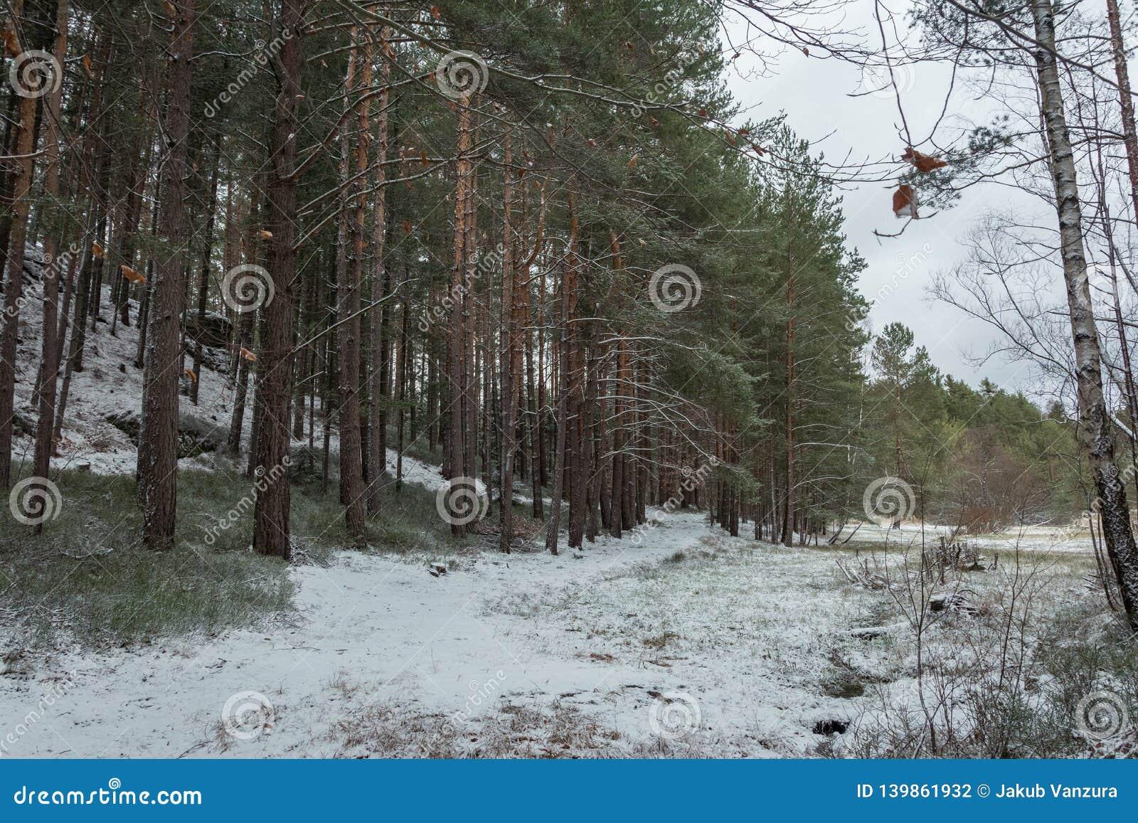Zima las z drzewami zakrywającymi z śniegiem
