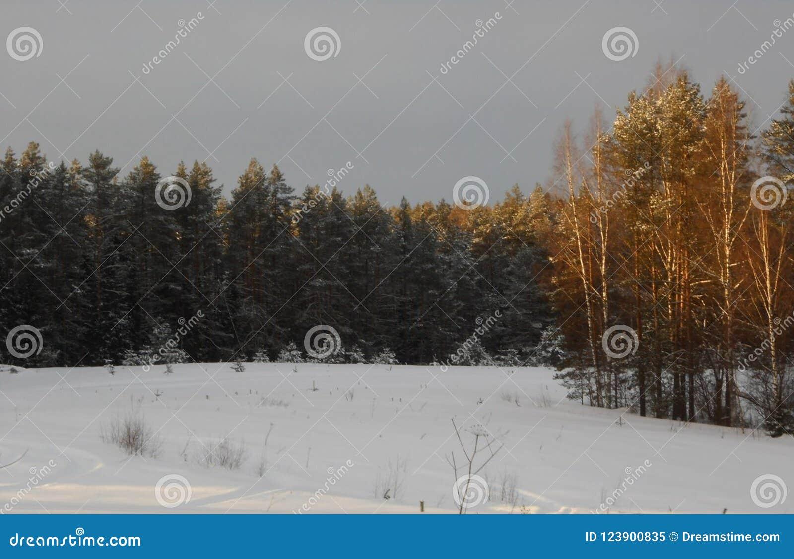 Zima lasu halizna Świerczyny i brzozy las