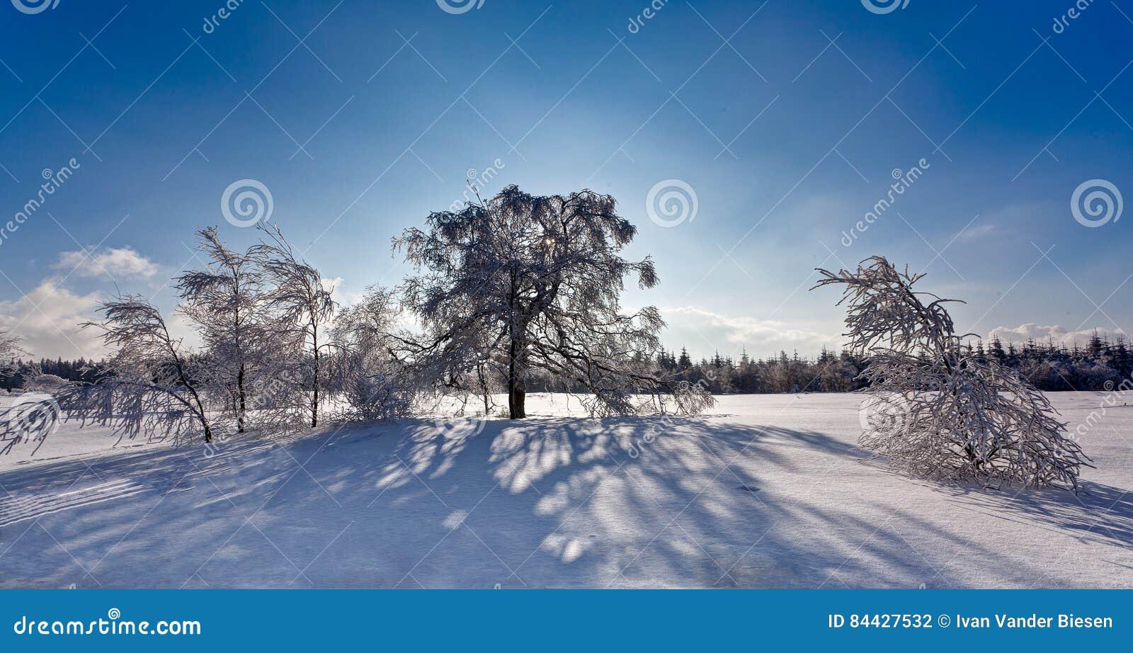 Zimy backlight cienia brzozy śnieżni drzewa, Wysocy Fens, Belgia