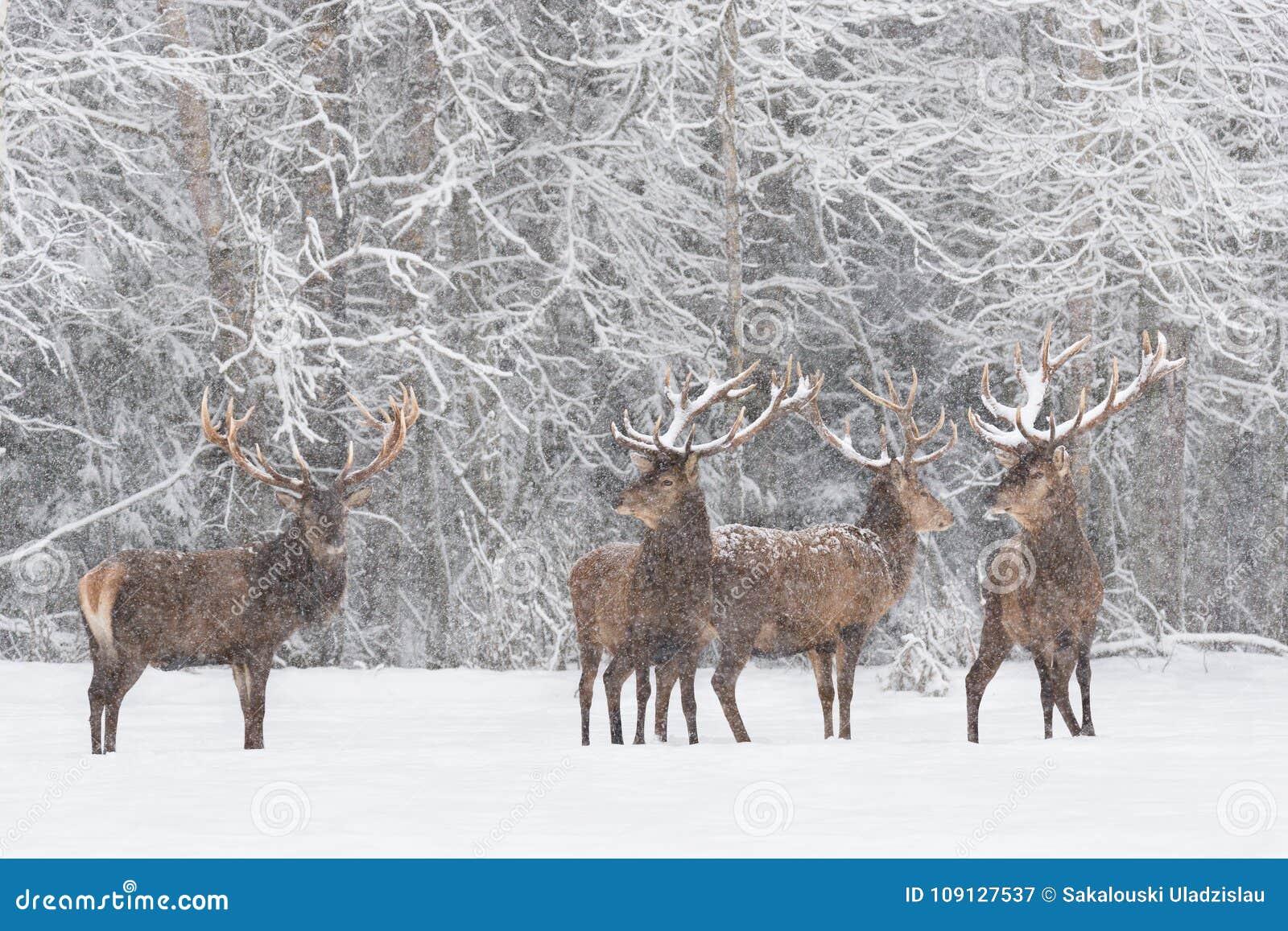 Zimy przyrody krajobraz Z Cztery wielmóż Cervus Jelenim elaphus Stado śnieżysty Czerwonego rogacza jeleń Czerwonego rogacza jelen
