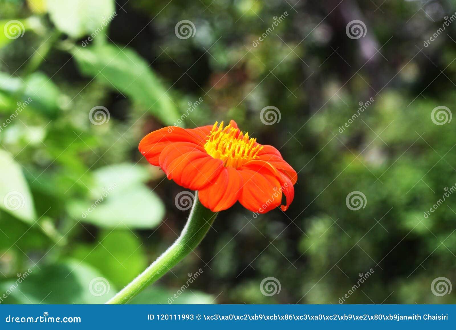 Zinnia στον κήπο