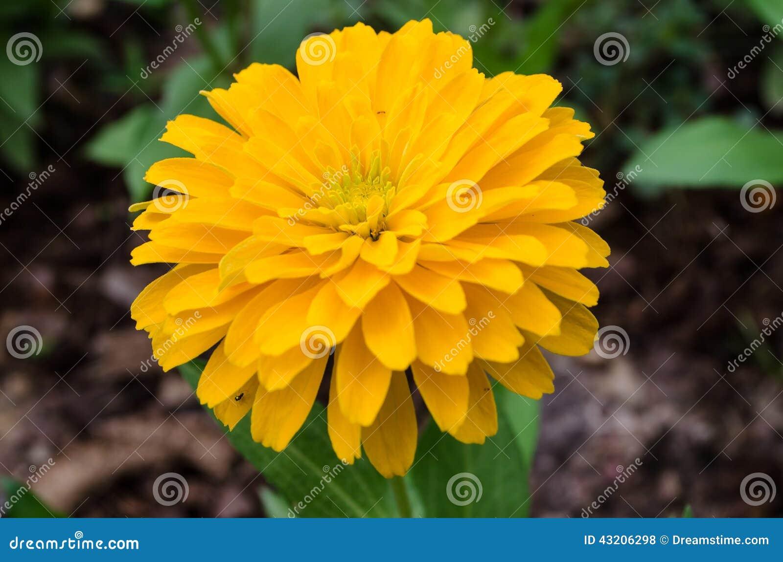 Download Zinnia arkivfoto. Bild av yellow, färgrikt, blandat, grupp - 43206298