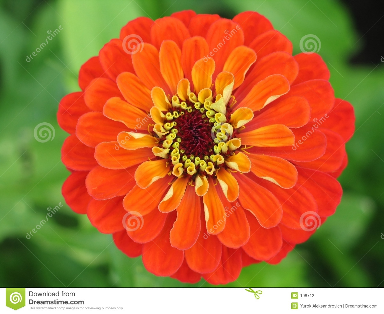Zinnia Flower Stock Photography - Image: 196712