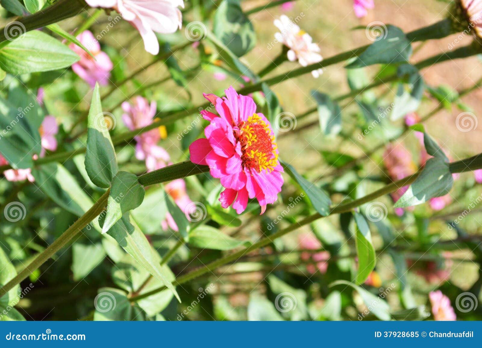 Zinnia flower1