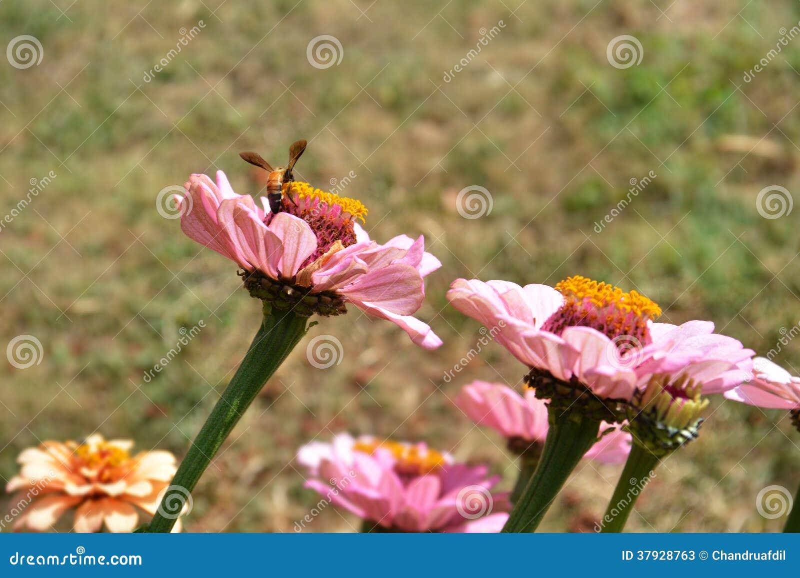 Zinnia flower2