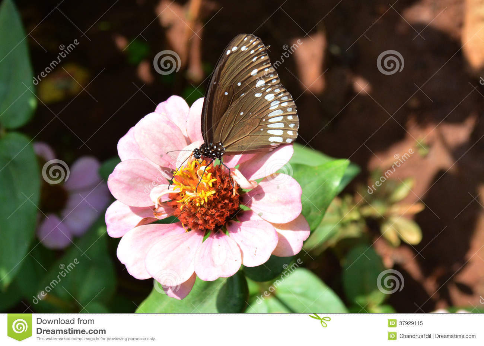 Zinnia flower4