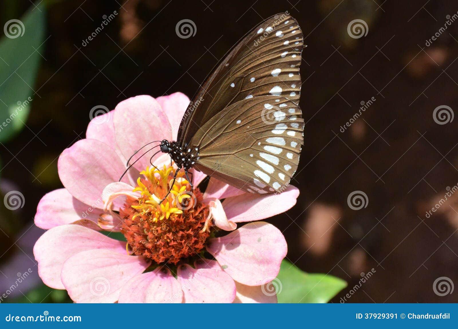 Zinnia flower7