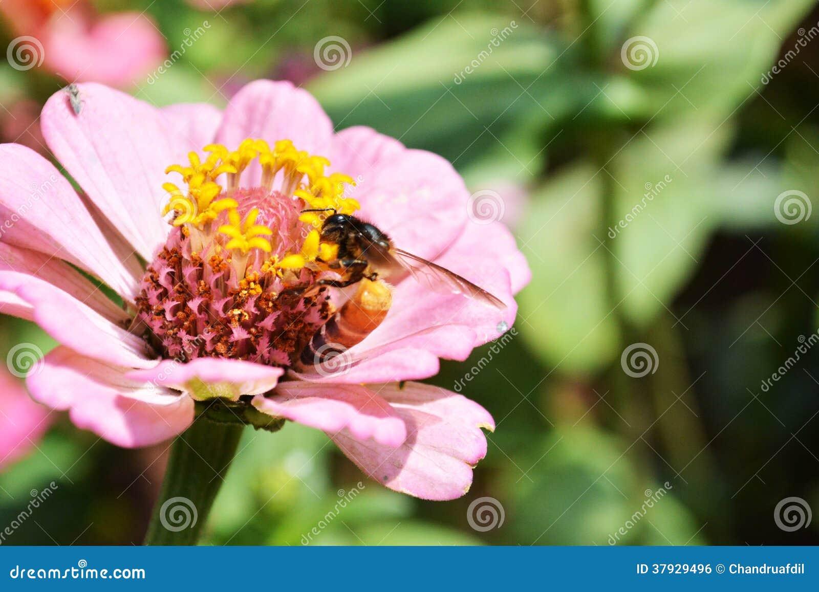 Zinnia flower8