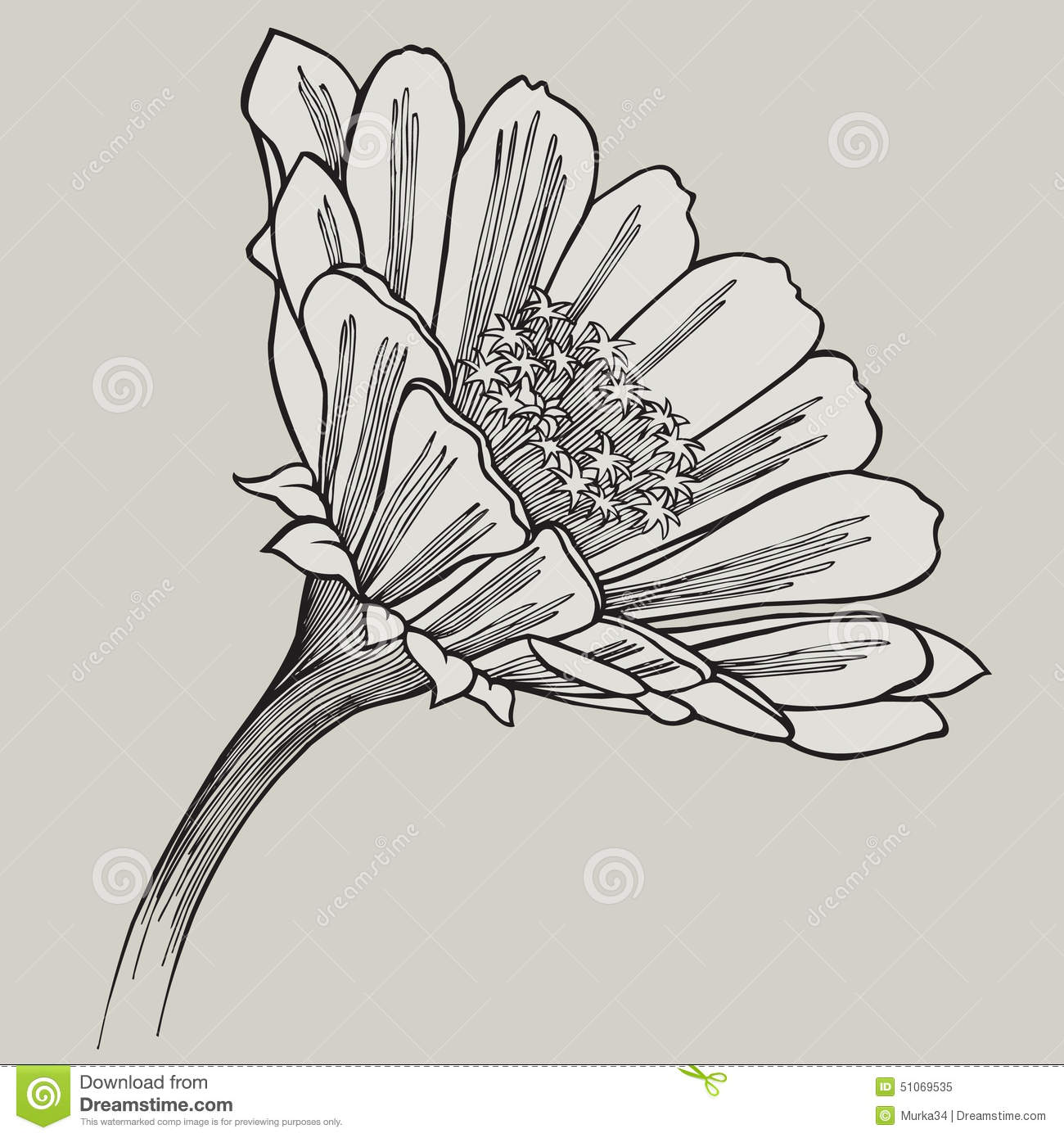Zinnia Line Drawing : Zinnia flower hand drawing vector illustration stock