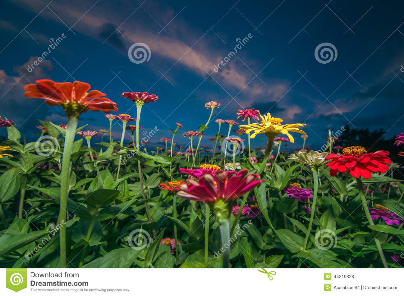 Zinnia Flowers In Dawn Stock Photo Image Of Bloom Blue 44319828