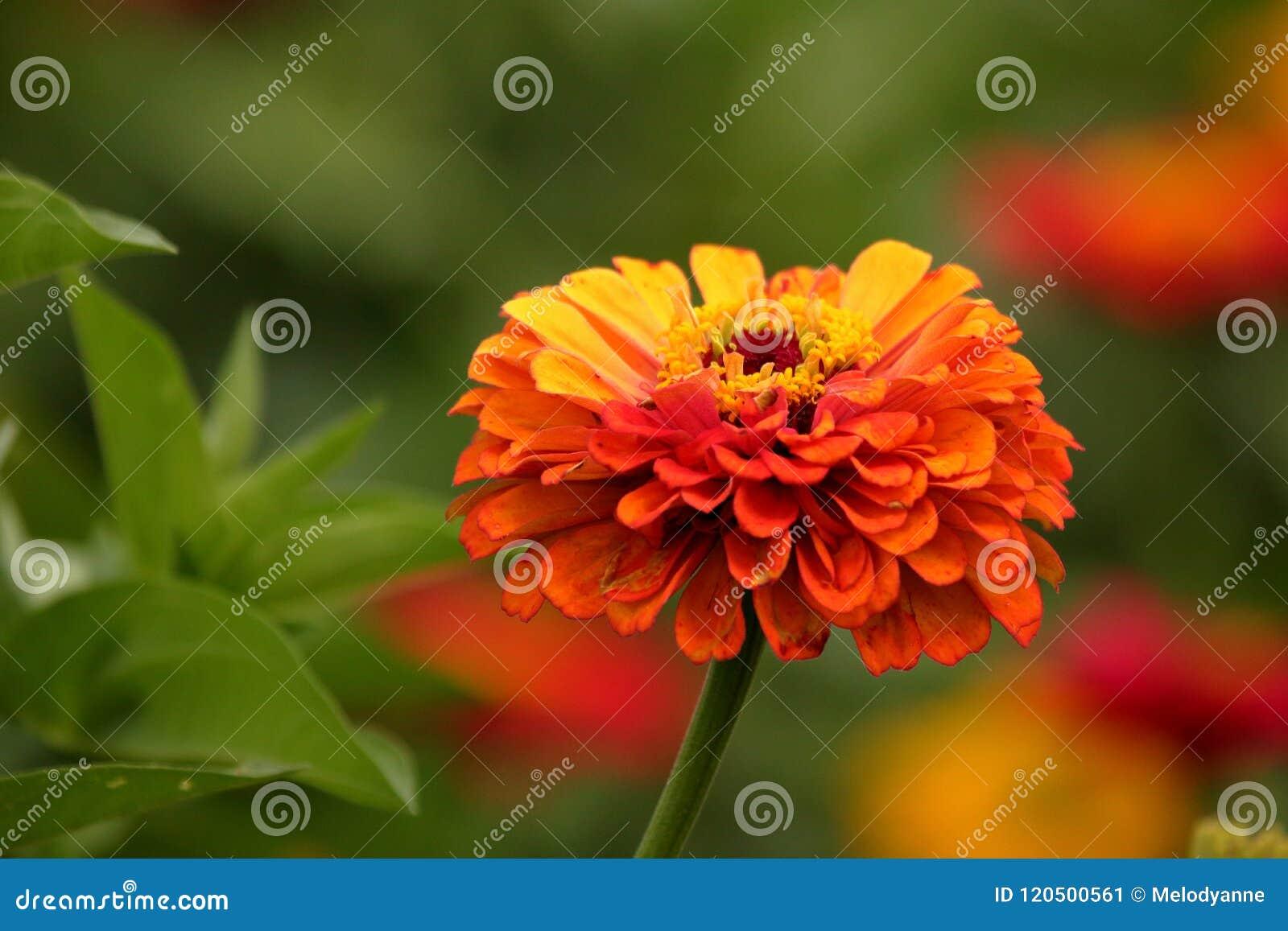 Zinnia orange d héritage