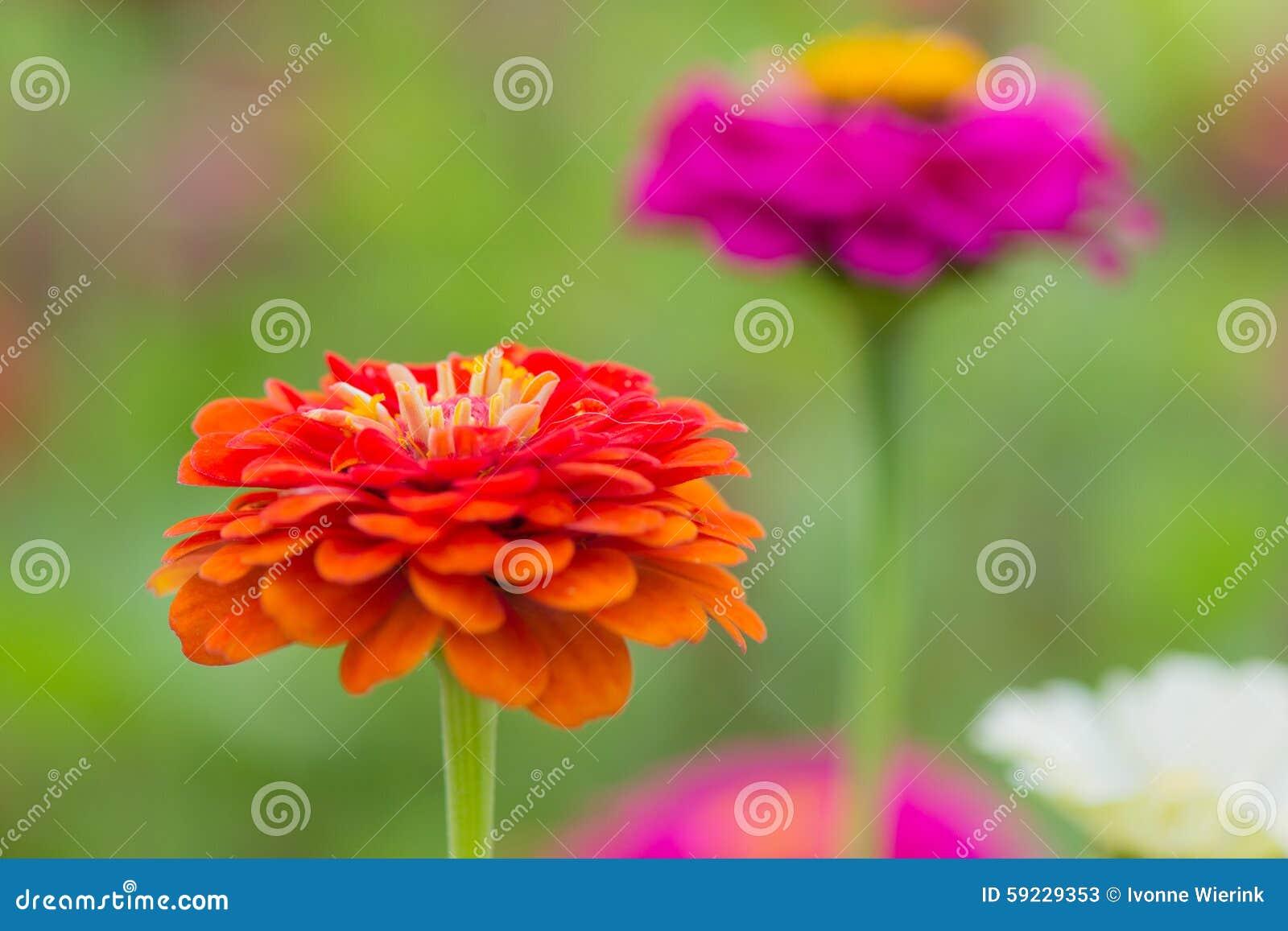 Download Zinnia rosado imagen de archivo. Imagen de jardín, floración - 59229353