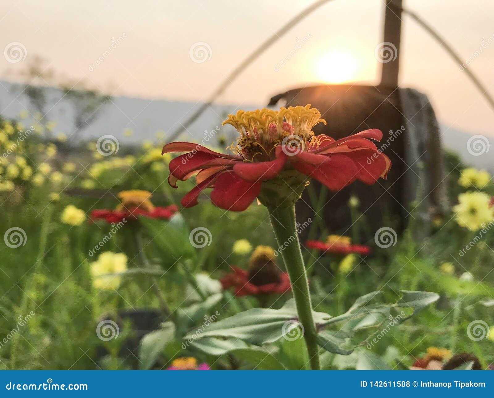 Zinnia som är röd med gult pollen