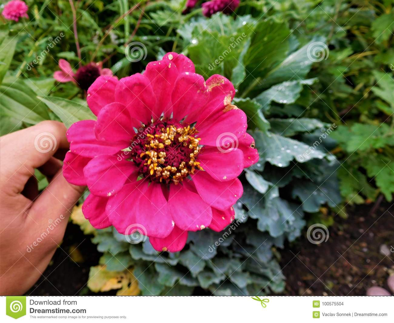 The zinnia stock photo image of hand green floral 100575504 the zinnia is one of the best beautiful flower on the world and it is many kinds we used them for decoration own garden izmirmasajfo