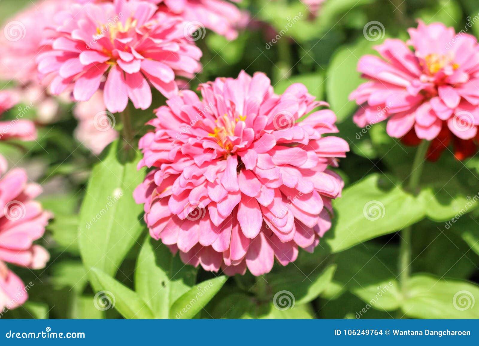 Zinnias roses dans le jardin