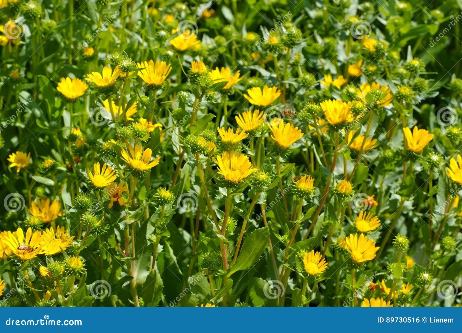Ziołowy rośliny gumweed