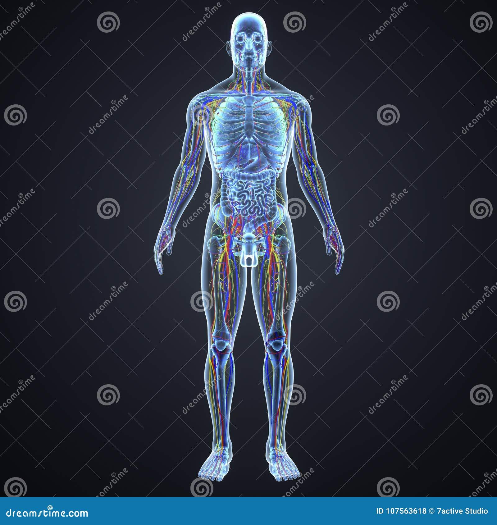 Zirkulierende, Nervensystem-und Lymphknoten Mit Anatomie ...