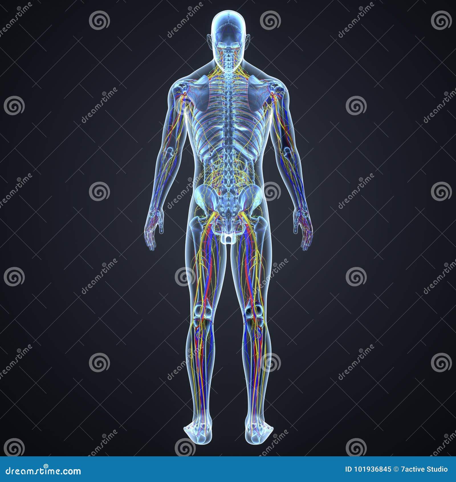 Großzügig Bilder Von Organsystemen Im Körper Zeitgenössisch ...