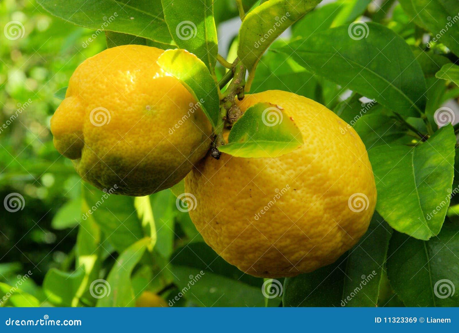 Zitrone auf Baum