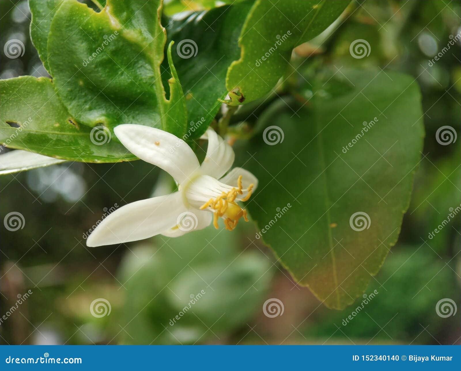 Zitronenblumen-Makroschuß gut fokussiert mit grünen Blättern