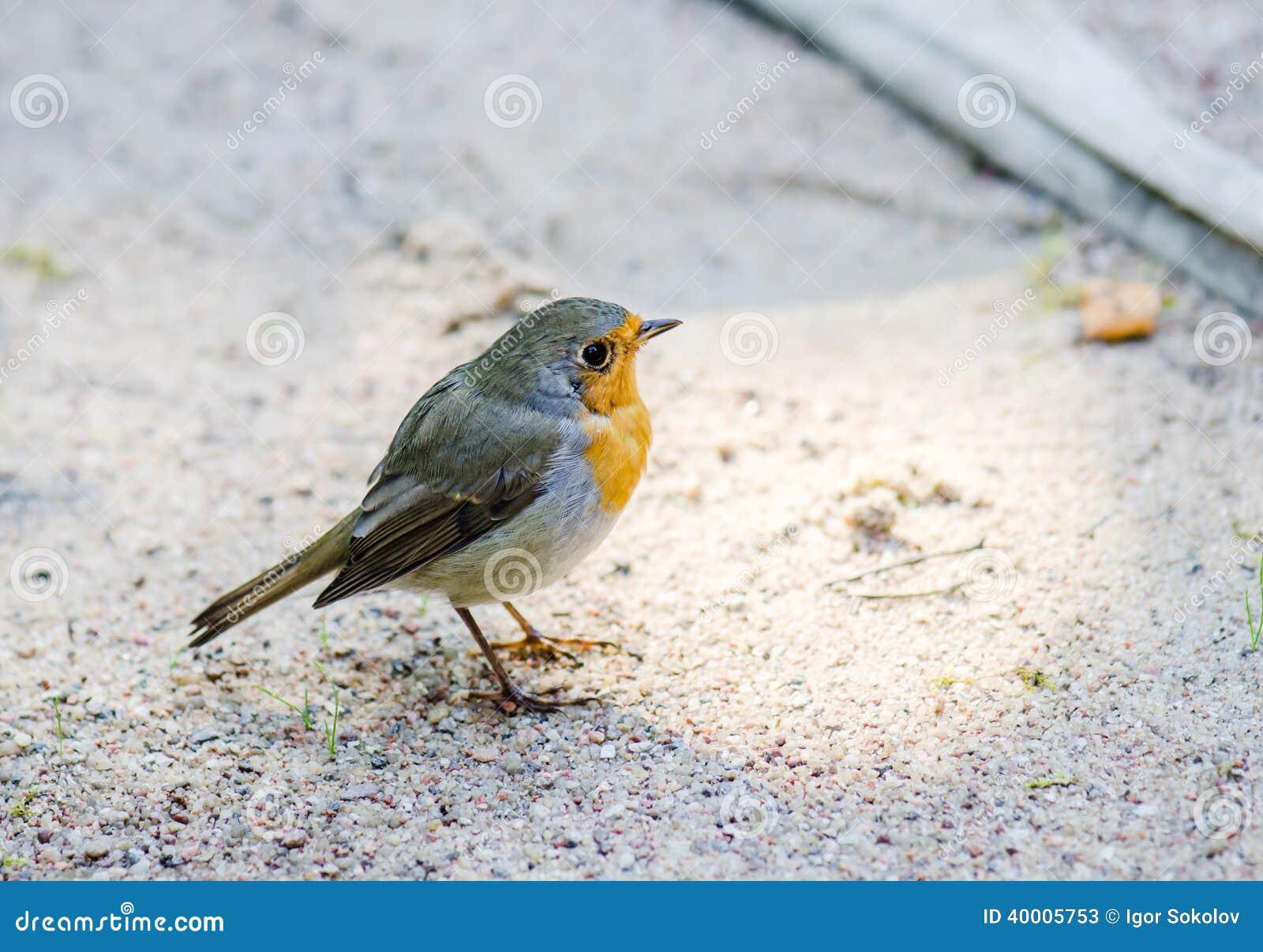 zitronenzeisig kleiner vogel mit einer gelben brust. Black Bedroom Furniture Sets. Home Design Ideas