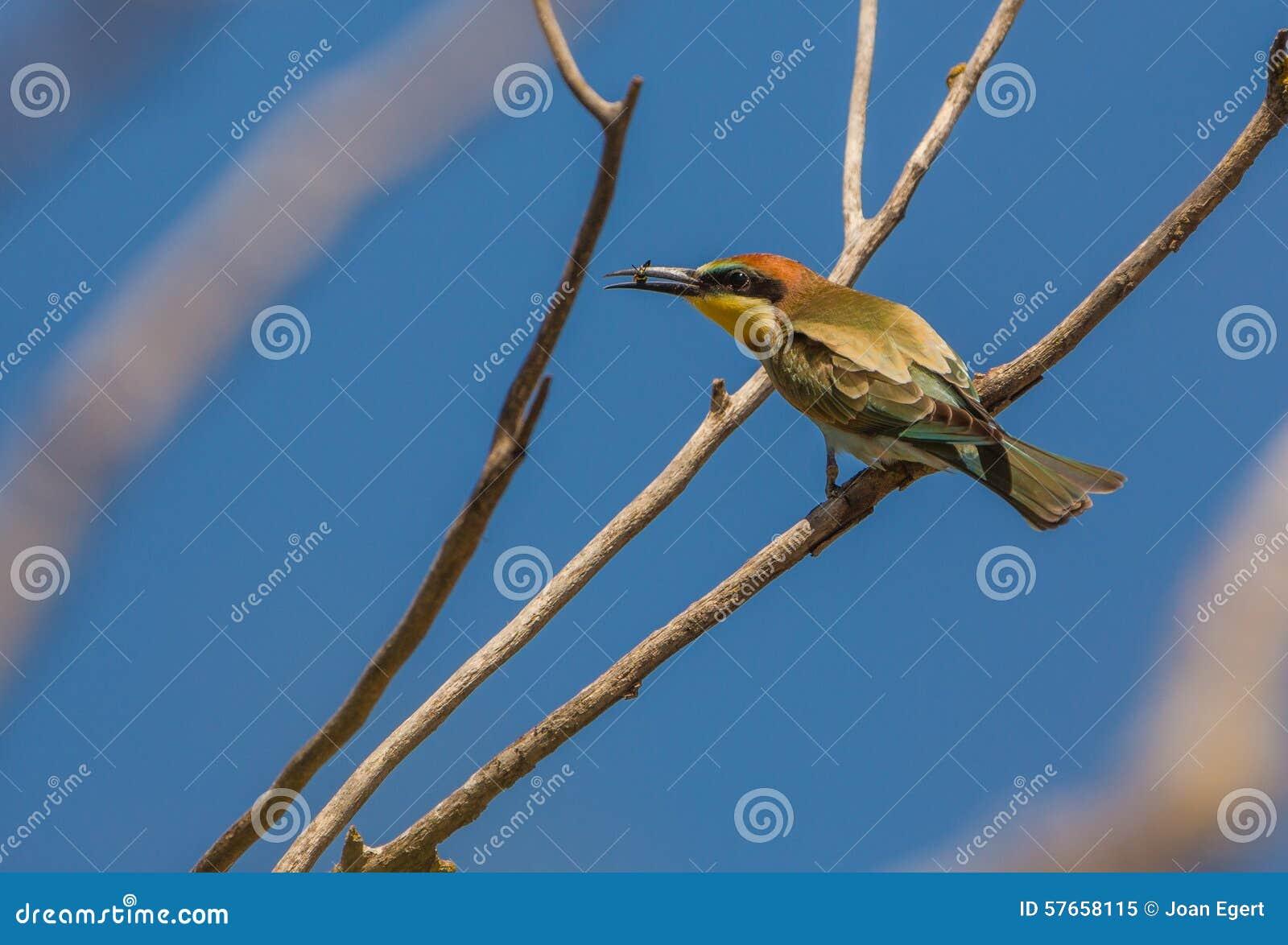 Zjadacza ptak z insektem