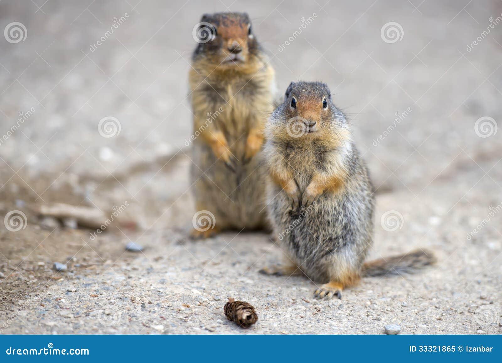 Zmielona Kanadyjska Wiewiórka Obraz Stock Obraz Złożonej Z Kanadyjska Wiewiórka 33321865