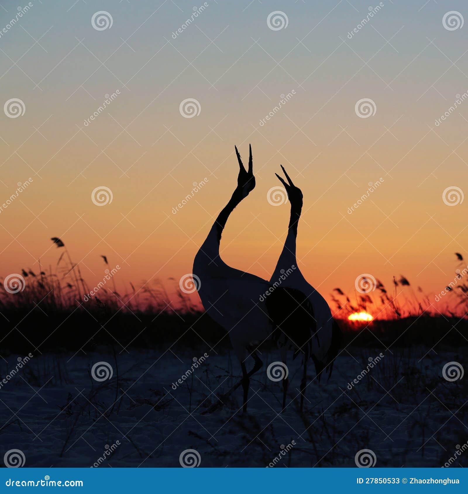 Zmierzch koronujący żuraw