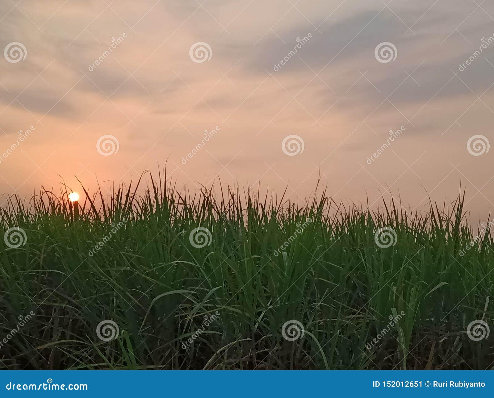Zmierzch na cukrowych żurawi polach